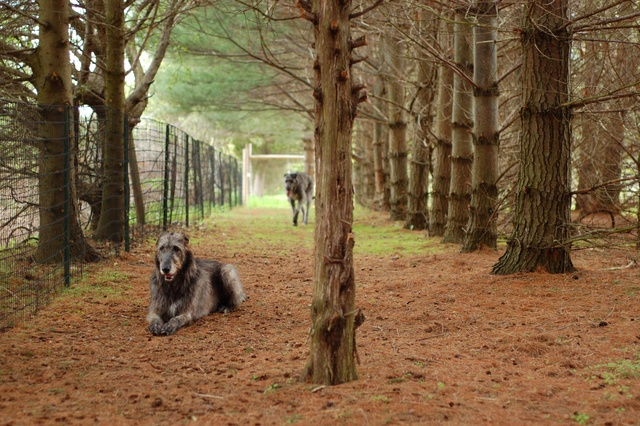 Irish Wolfhounds on the Arahu country property.
